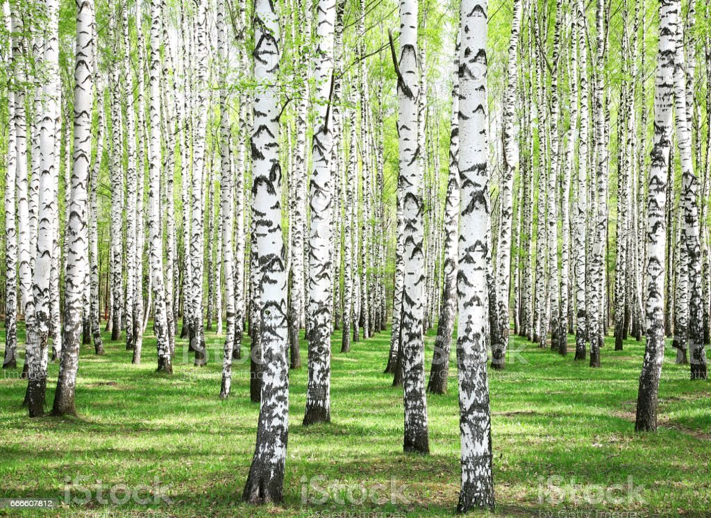 First spring greens in birch grove - foto de stock
