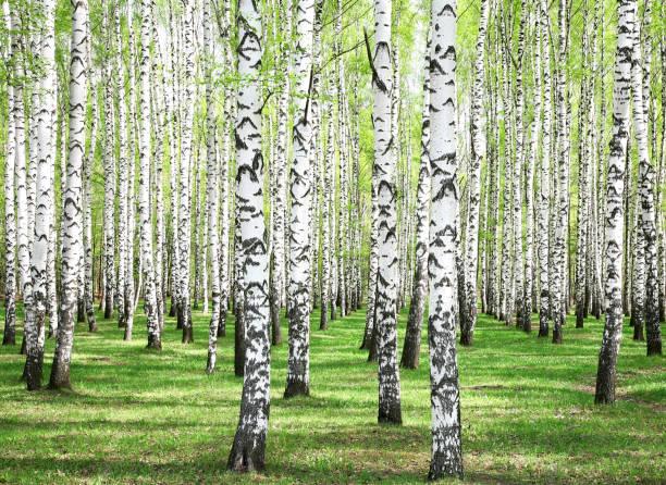 First spring greens in birch grove – Foto
