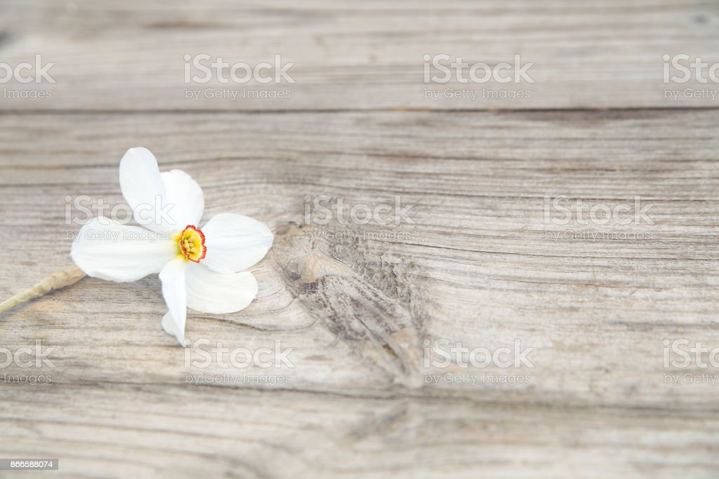 First spring narcissus stock photo