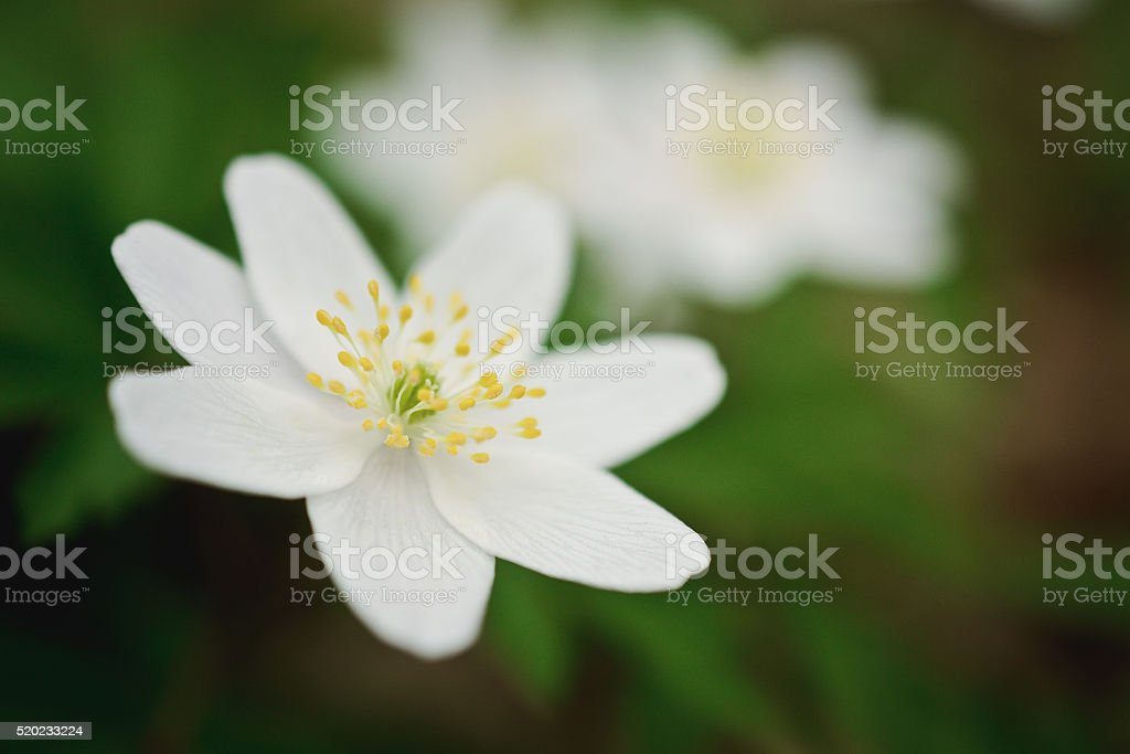 First spring wild flowers stock photo