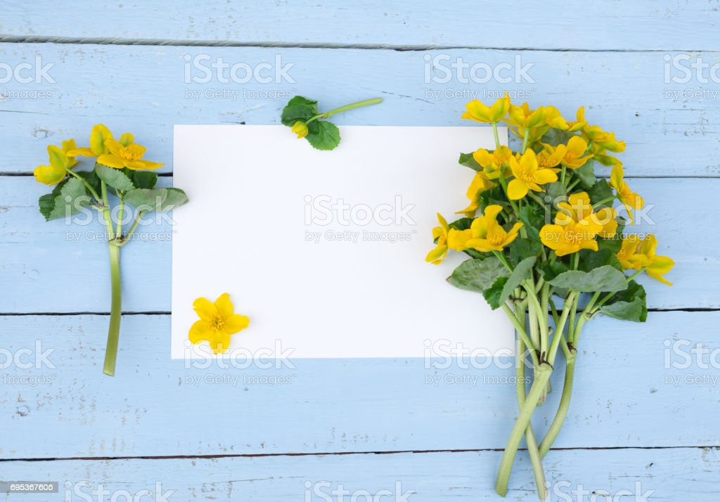 First spring Yellow Flowers. Wildflowers with blank paper on blue wooden background. Vintage Floral mock up with wild flowers. Caltha palustris, or Kingcup or Marsh Marigold. Copy space stock photo