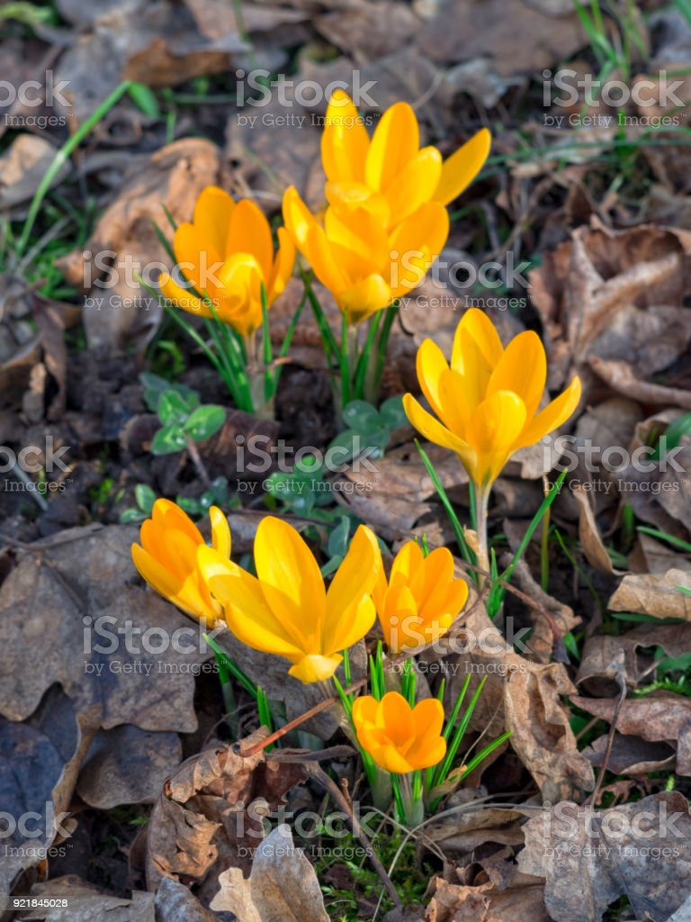 First Springtime Flowers Yellow Crocuses Growing In The Forest Stock