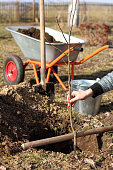 planting a young apple tree seedling in a cooked planting pit in the garden