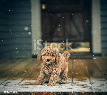 A young goldendoodle puppy experiences snowfall on the front porch for the first time.