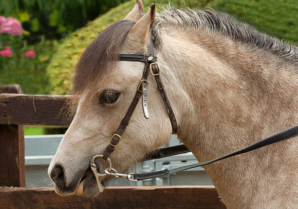 first time in a bit-pretty pony wearing bridle. - horse bit stock photos and pictures