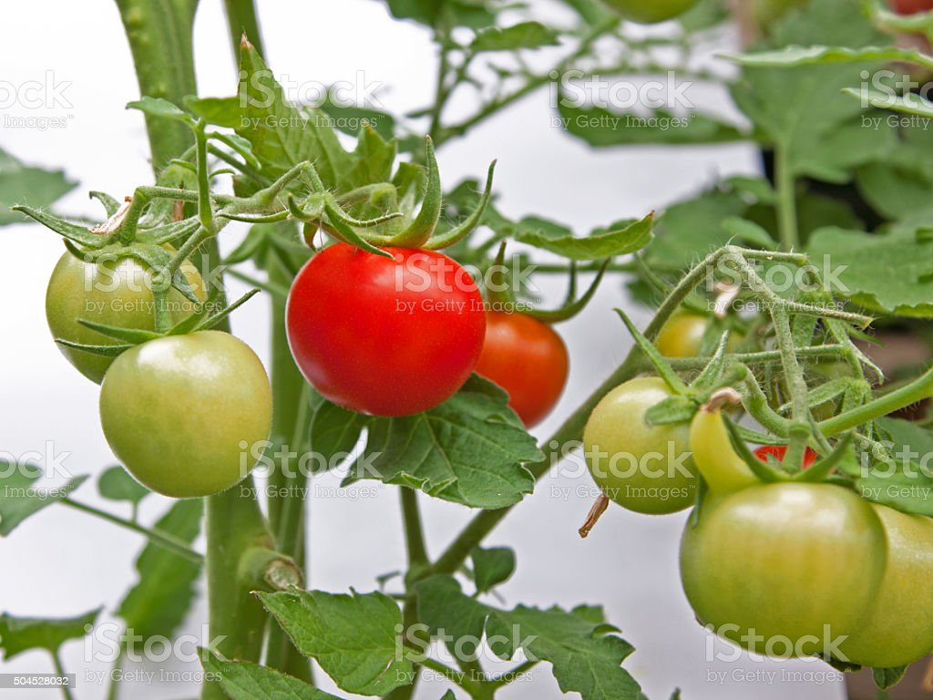First tomato to ripen on a vine in summer UK stock photo