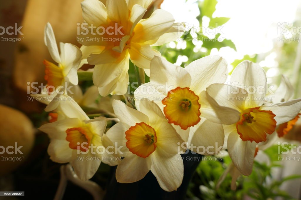 First white spring narcissus royalty-free 스톡 사진