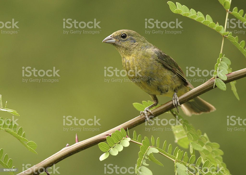 First year Painted Bunting royalty-free stock photo