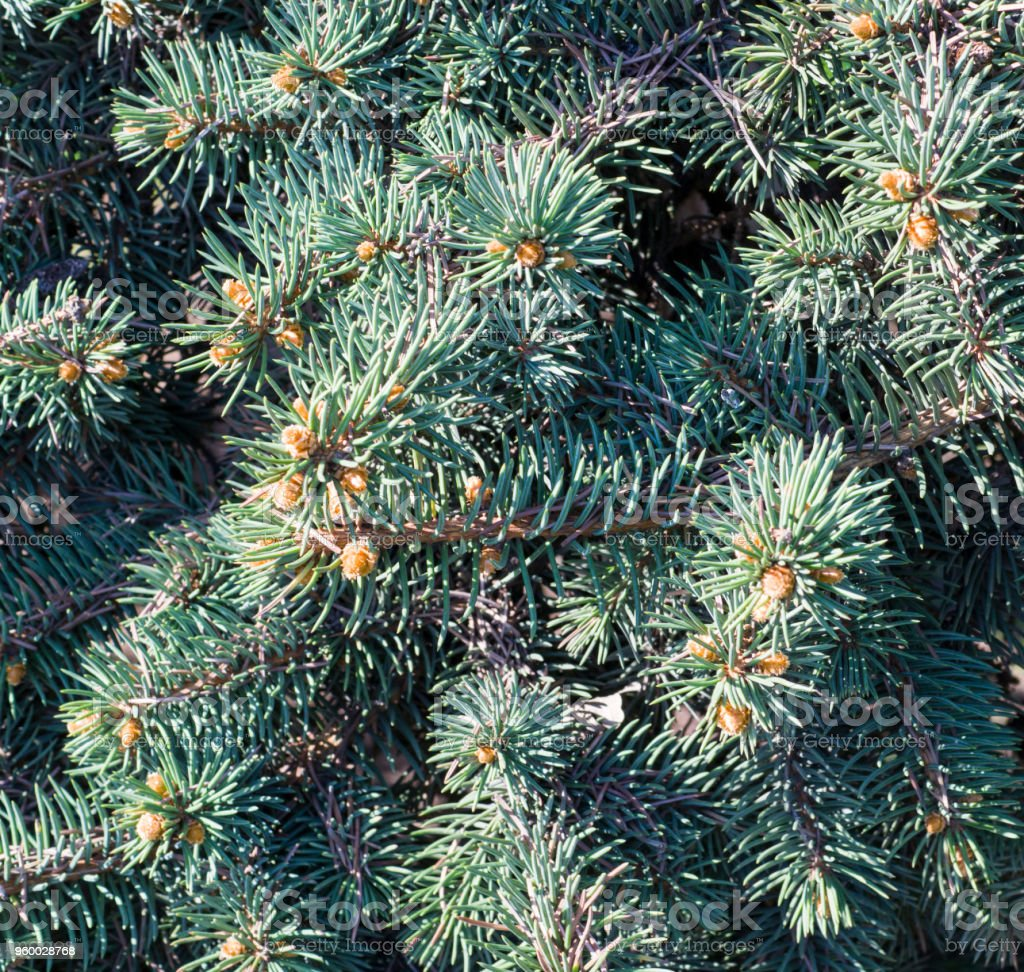 fir-tree branch background close up. nature, stock photo