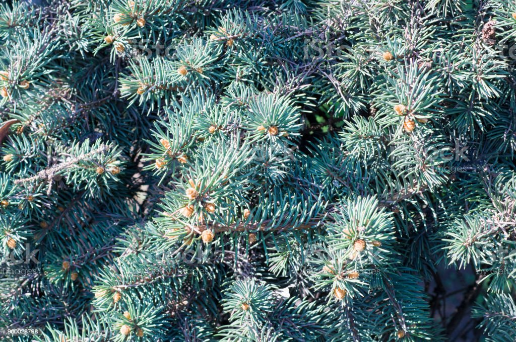 fir-tree branch background close up. nature, vignette stock photo