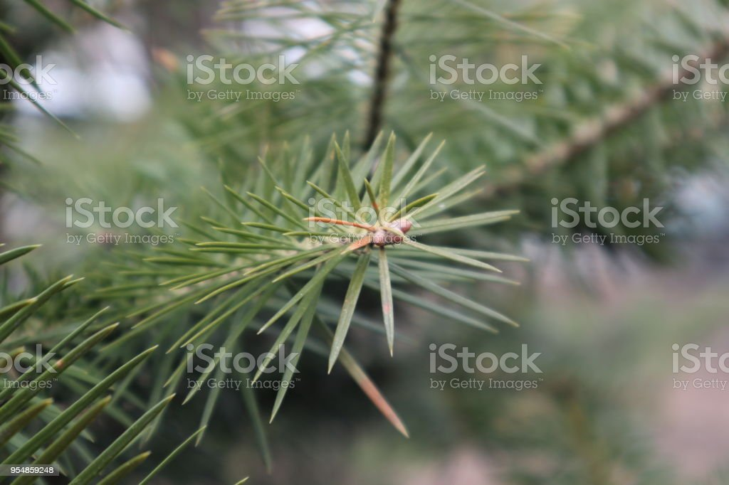 Fir-tree branch close-up. stock photo