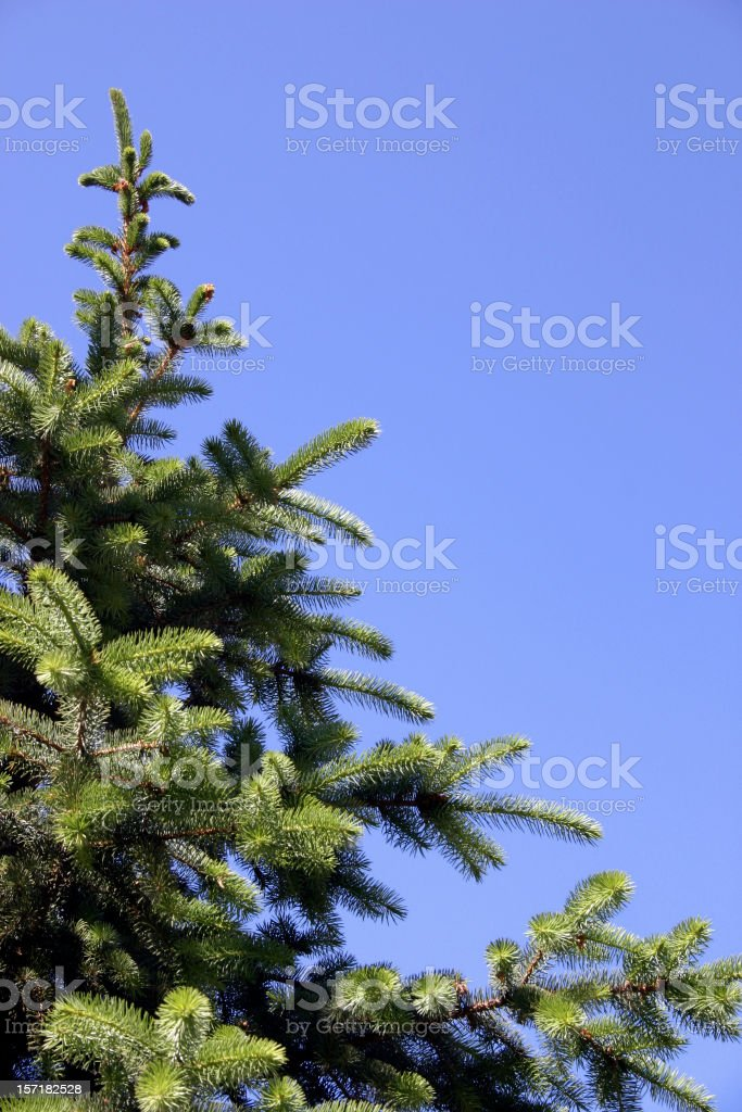Fir-tree branch royalty-free stock photo