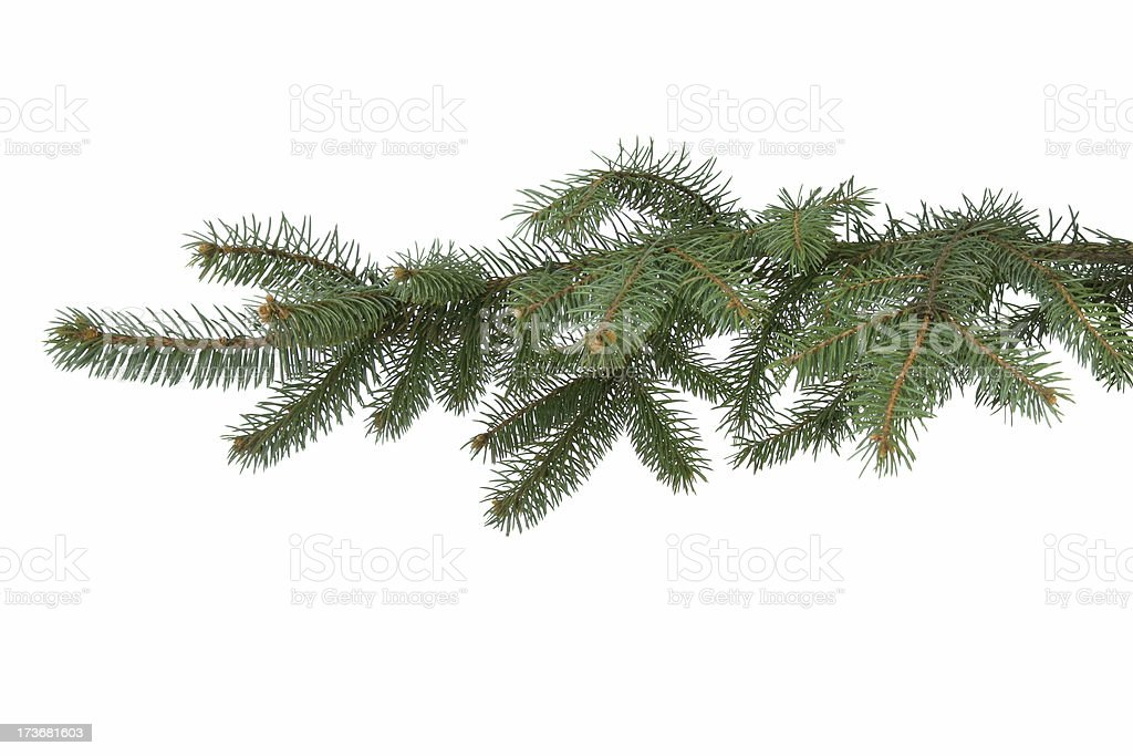 Fir-tree branch royalty-free stock photo