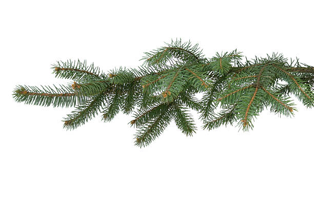 Fir-tree branch Fir-tree branch on the white background. fir tree stock pictures, royalty-free photos & images