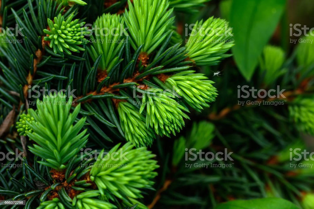 Fir-tree branch. stock photo