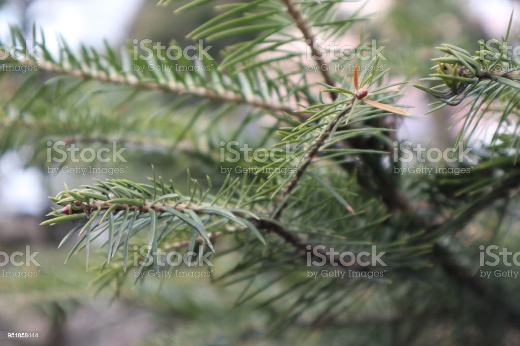 Fir-tree branches close-up. stock photo