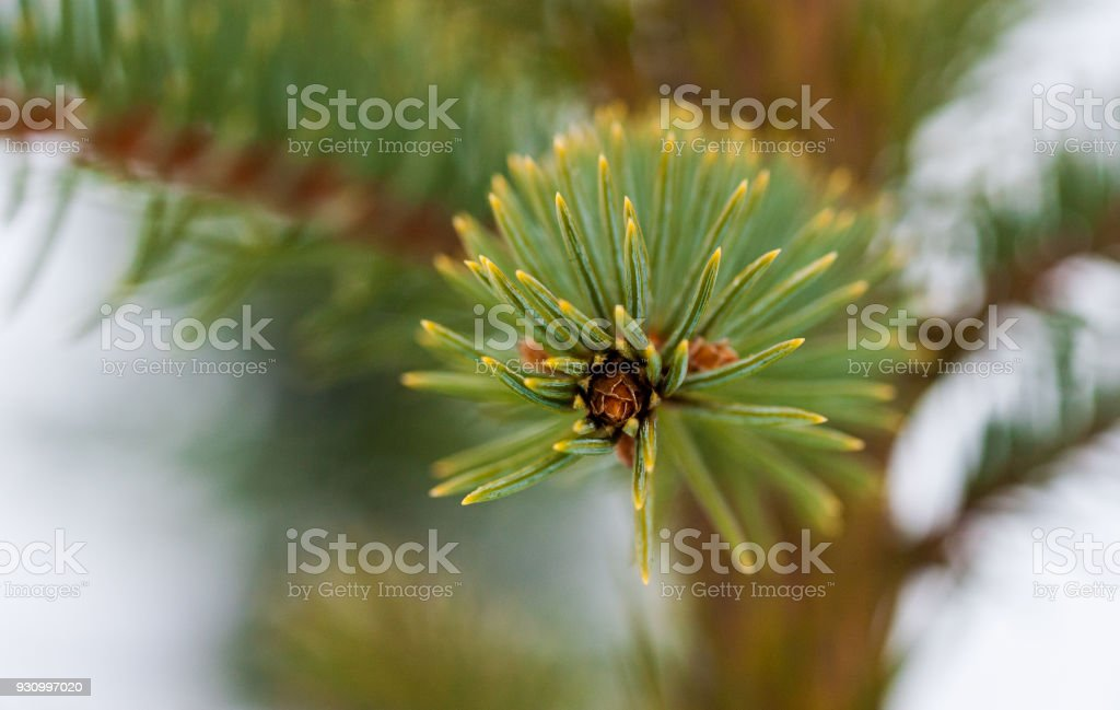 fir-tree close-up stock photo