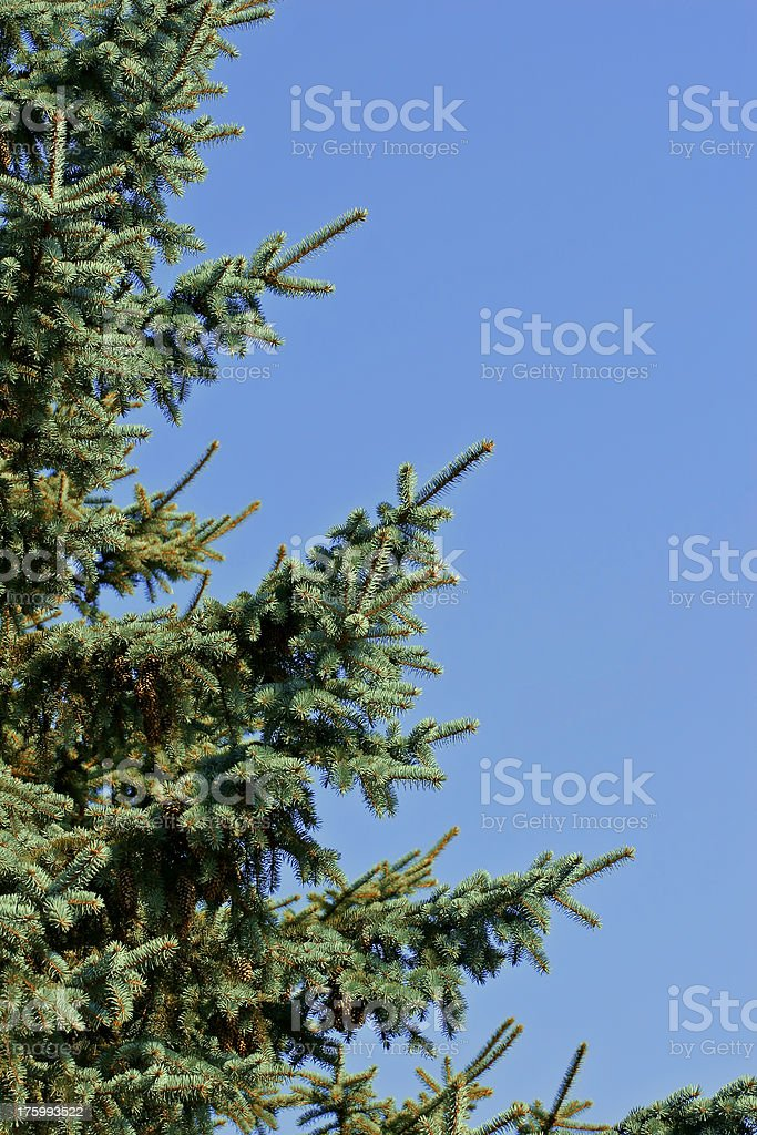 Fir-tree on blue royalty-free stock photo