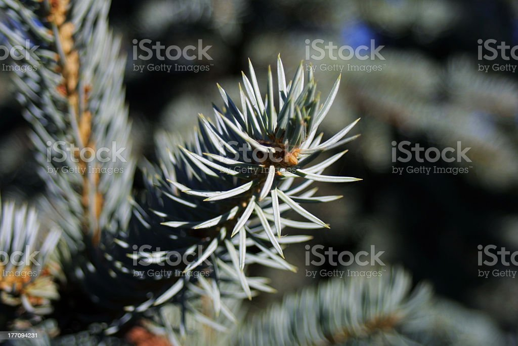 fir-tree royalty-free stock photo