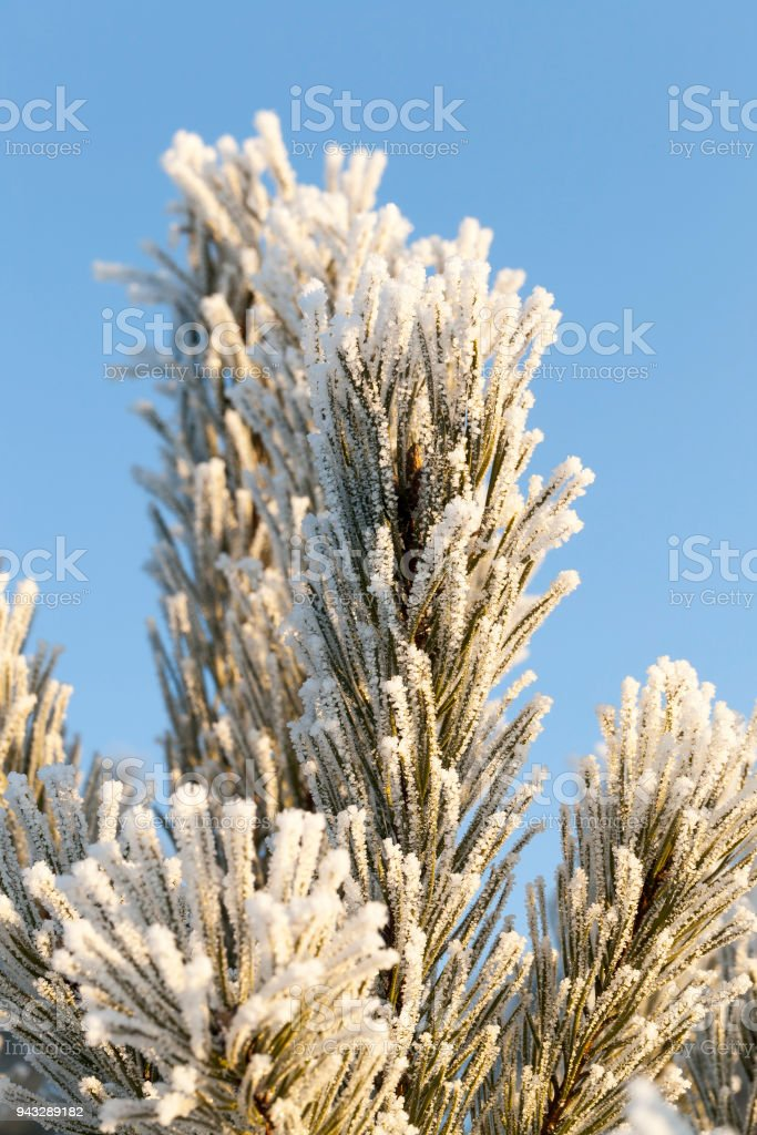 Fir-tree top stock photo