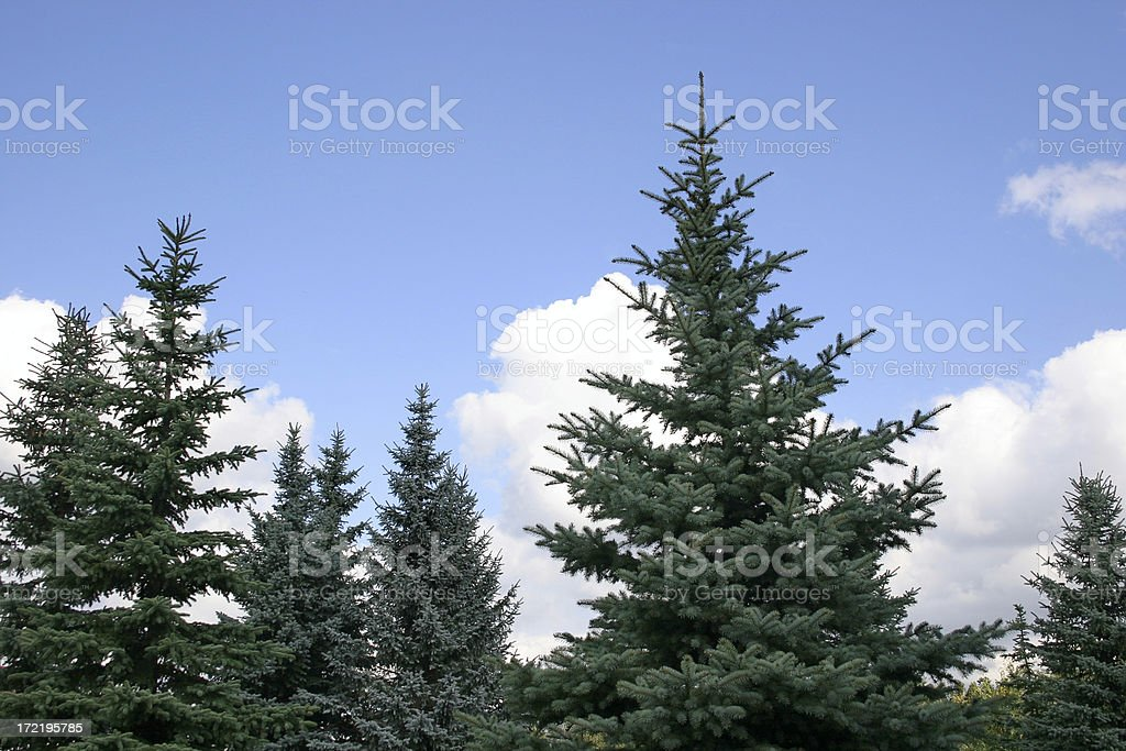 Fir-wood royalty-free stock photo