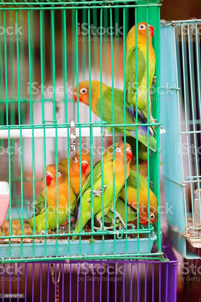 Fischer Lovebirds For Sale Stock Photo - Download Image Now