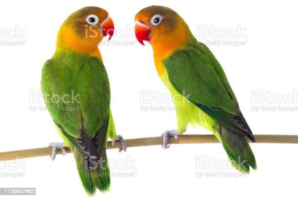 Fischeri lovebird parrots on a white picture id1126607862?b=1&k=6&m=1126607862&s=612x612&h=jumsymdphenj5 mcnwwnkjjh7lodihj6ewt9xpqb bw=