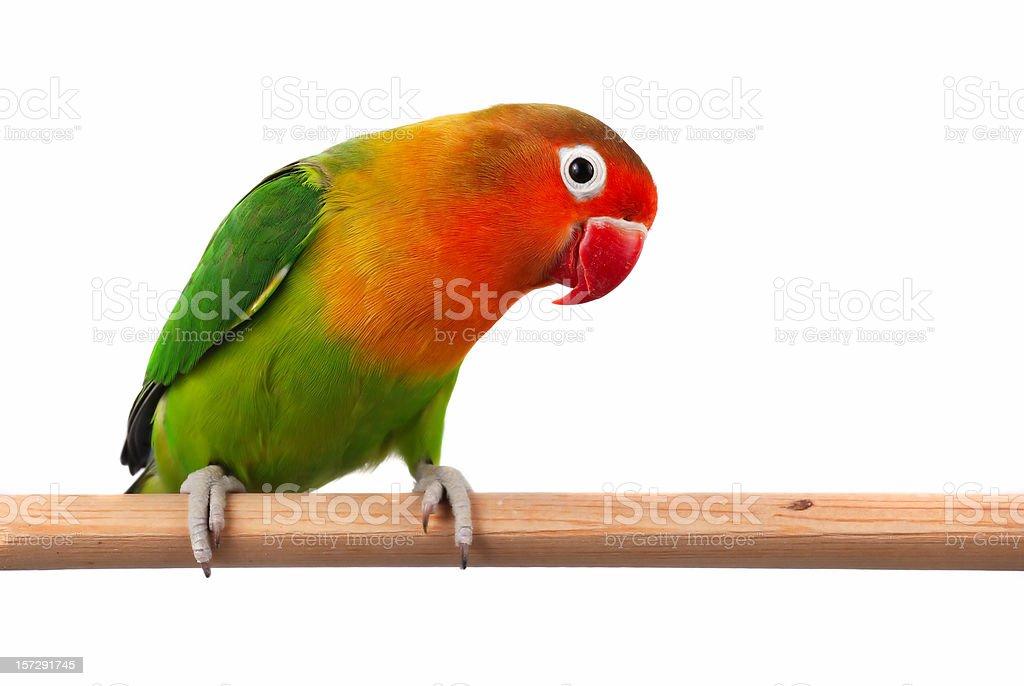 Fischer's Lovebird (Agapornis Fischeri) stock photo