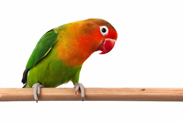 Fischer's Lovebird (Agapornis Fischeri) stock photo