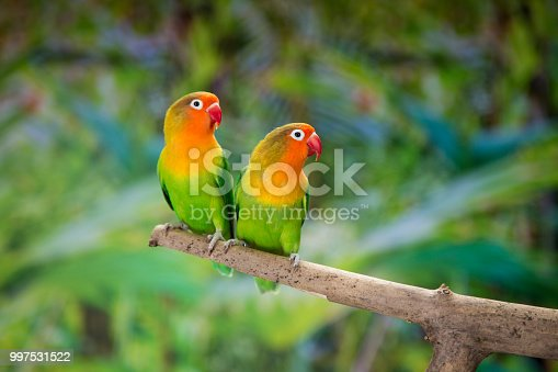 Fischer's lovebirds perching on branch.
