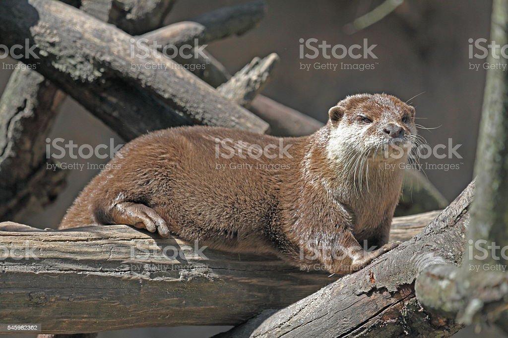 Fisch-Otter stock photo