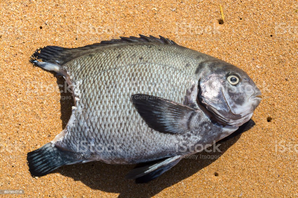 Fish after shark attack stock photo
