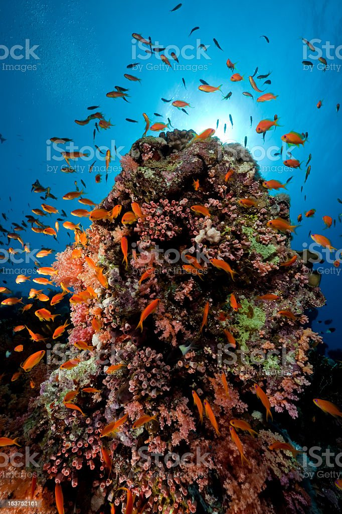 Fish and coral in the Red Sea. royalty-free stock photo