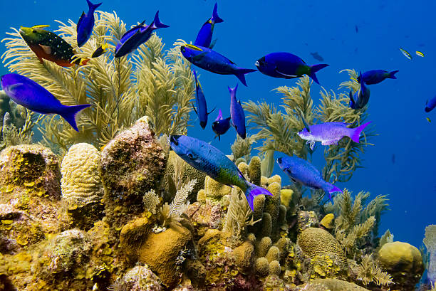 Fish and Coral Underwater scene with Blue Wrasse fish and soft coral on the top section of a wall in the Caribbean Sea. roatan stock pictures, royalty-free photos & images