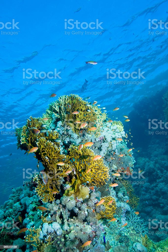 Fish and coral royalty-free stock photo