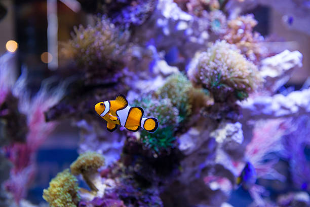 Fish and corals Clown fish swimming in saltwater aquarium in front of the colorful corals false clown fish stock pictures, royalty-free photos & images