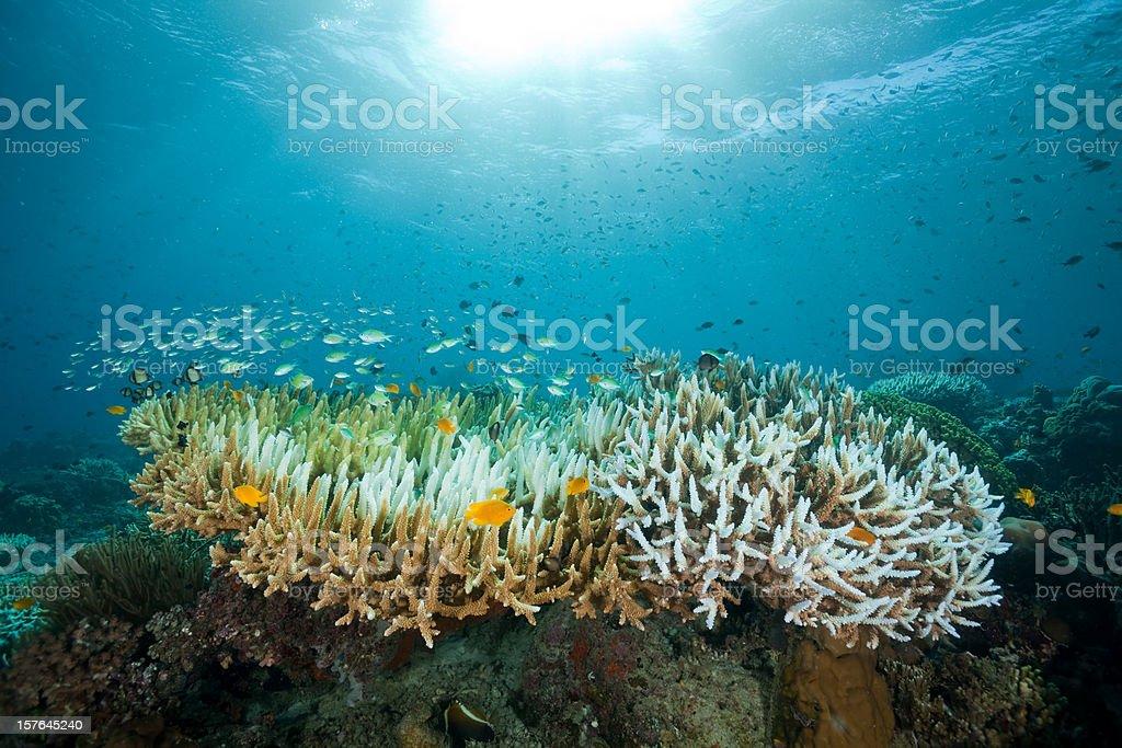 Fish Ballet on Staghorn Coral, Moyo Island, Sumbawa, Indonesia stock photo