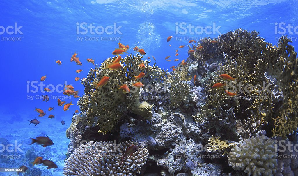 fish between corals royalty-free stock photo