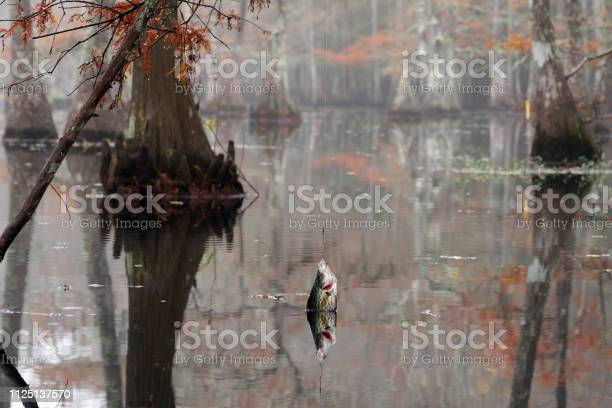 Photo of Fish  Black crappie ( Pomoxis nigromaculatus) caught on the Yo-Yo Automatic Fishing Reels. Beautiful bald cypress trees in autumn rusty-colored foliage. Chicot State Park, Louisiana, US