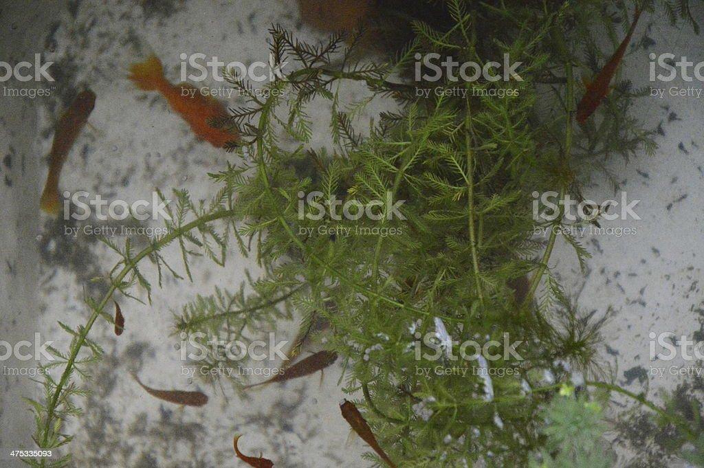 Fish bowl royalty-free stock photo