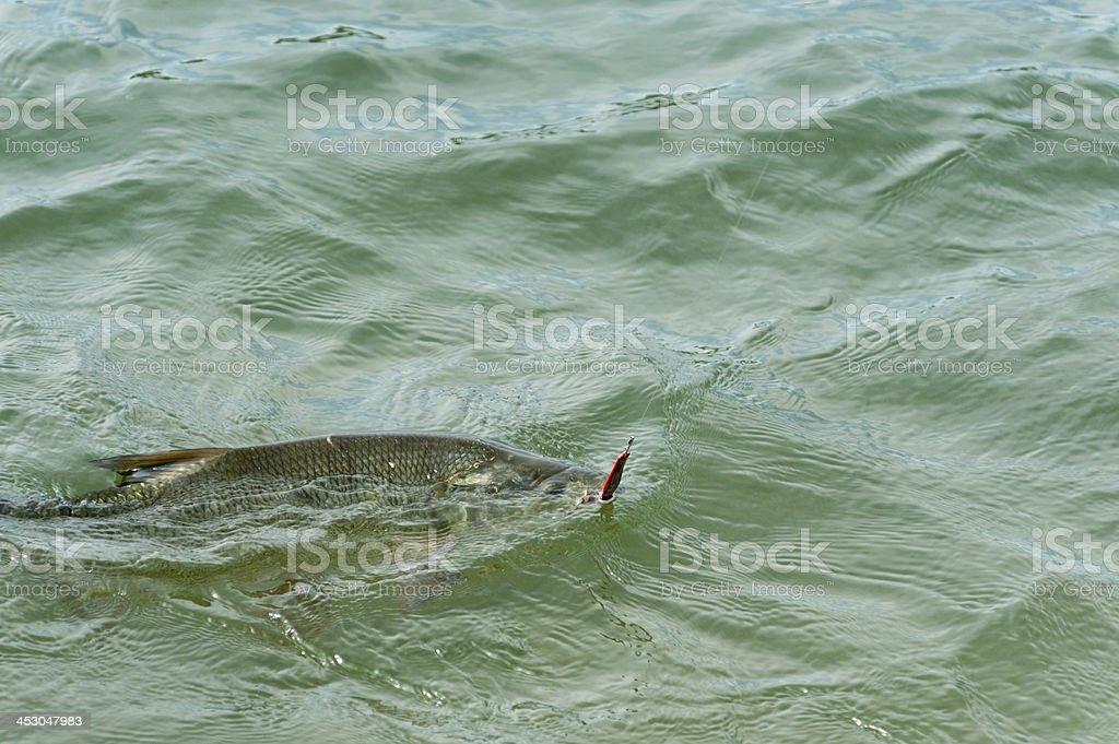 fish carp fishing [ angling ] royalty-free stock photo