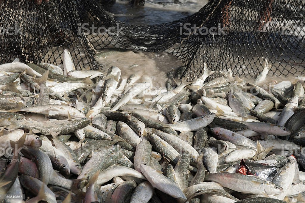 fish caught in a net stock photo