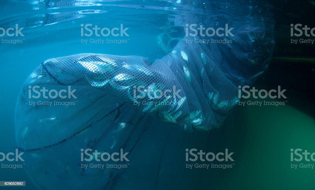 fish caught in net stock photo