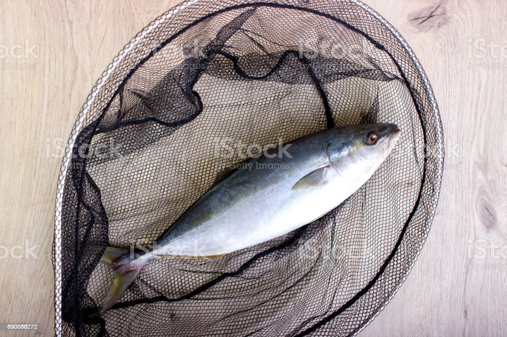 Fish caught in the net stock photo