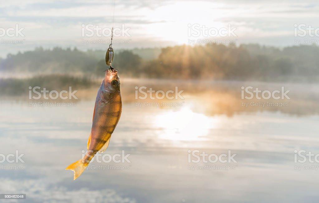 Fish caught on bait. stock photo