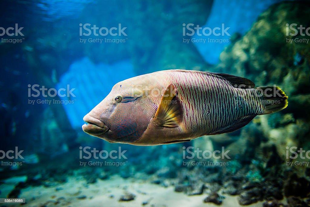 fish - Cheilinus undulatus stock photo
