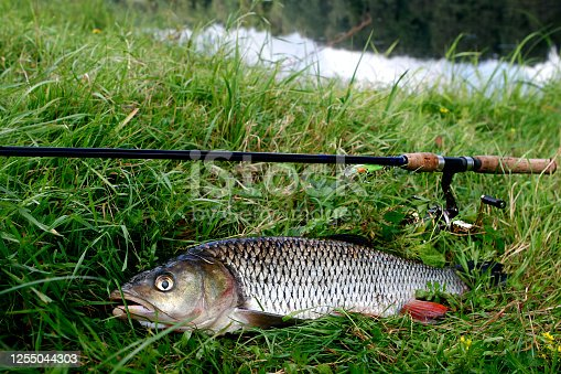 1094918172 istock photo Fish chub on the grass with a spinning near the river, outdoor recreation concept 1255044303
