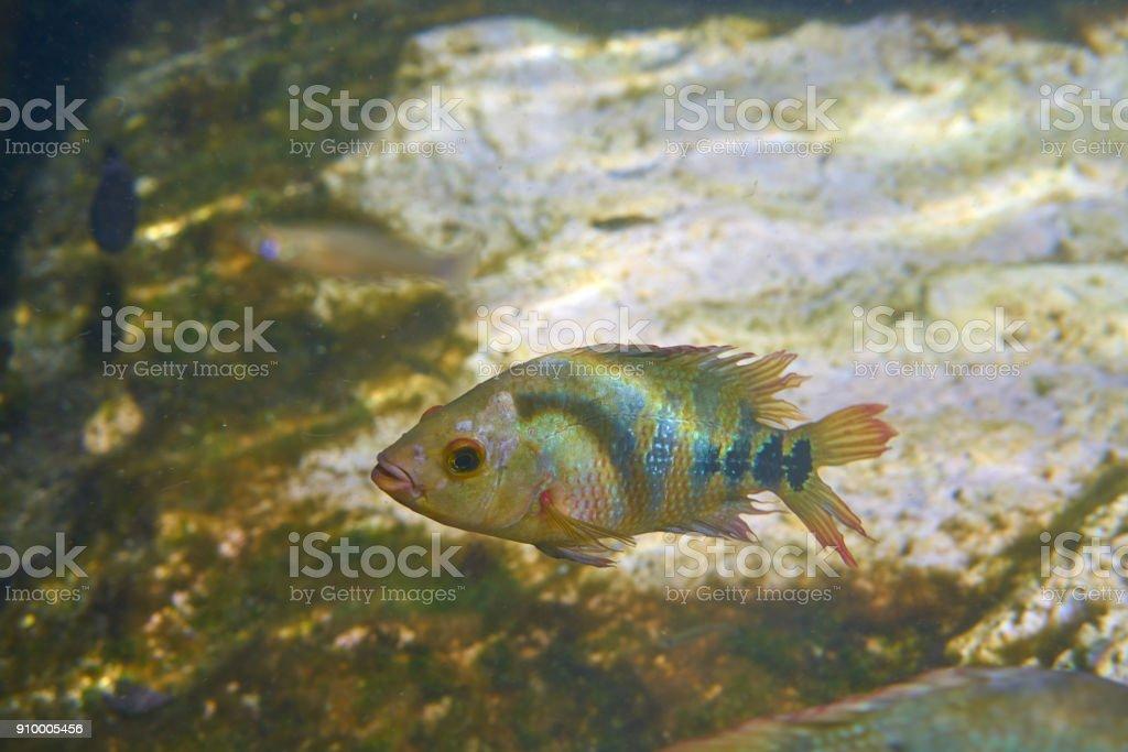 fish Cichlasoma urophthalmus of Cichlids stock photo