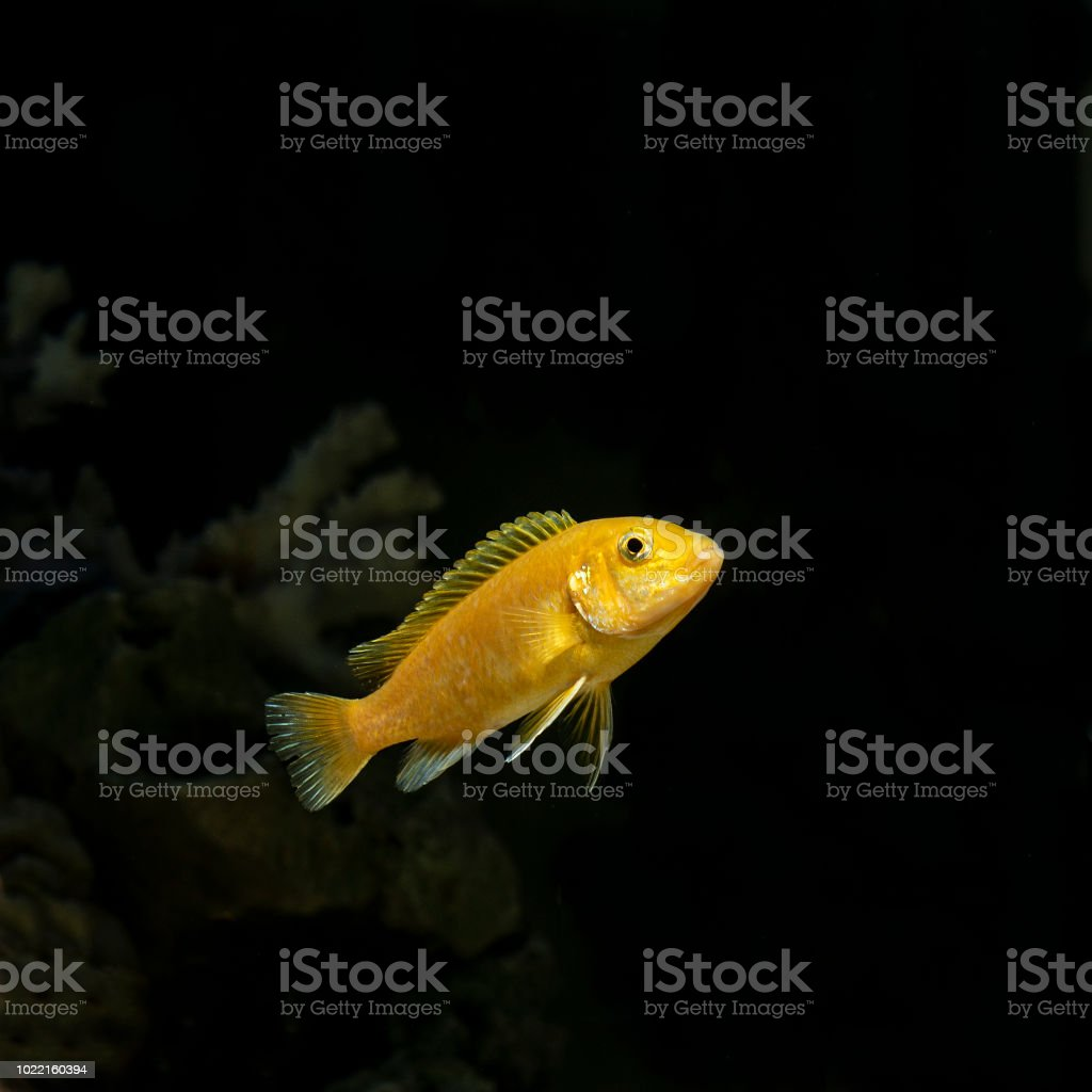 Fish cichlid Labidochromis caeruleus in the freshwater aquarium stock photo