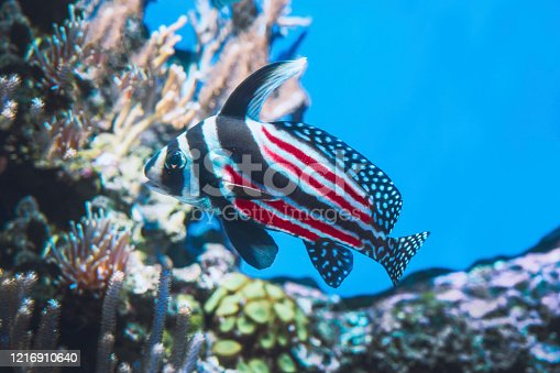 840615050 istock photo Fish colored like the american flag 1216910640